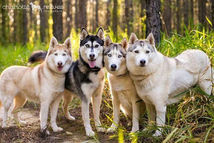 Husky pack - Amber, Alaska, Dakoda, and Kiah (by Charlotte Reeves Photography)