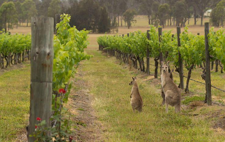 Kangaroos at Australian vineyards