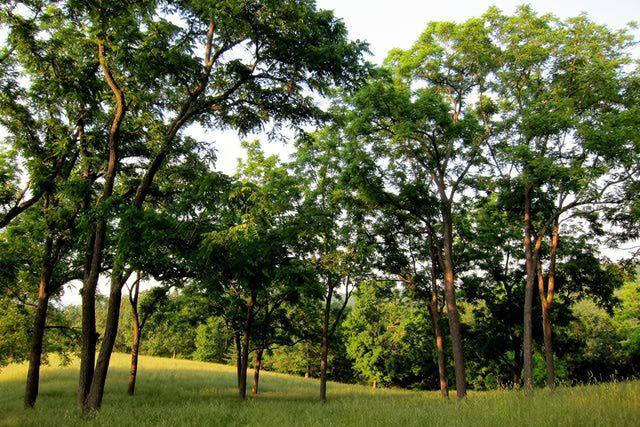 Black Walnut Tree - Plant Guide
