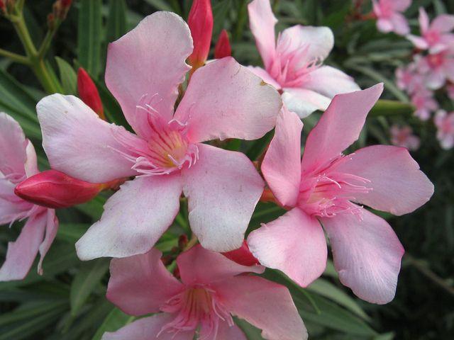 la vari t de laurier rose nerium oleander 39 villa romaine 39 est la plus r sistante au froid. Black Bedroom Furniture Sets. Home Design Ideas