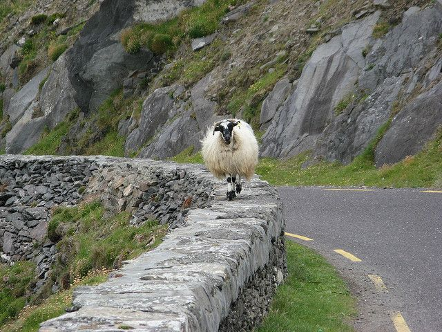Smart irish sheep!