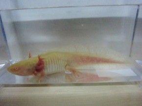 名古屋のペットショップ リミックス 熱帯魚・海水魚・爬虫類・小動物の品ぞろえは東海地区最大級 » インター熱帯魚ブログ