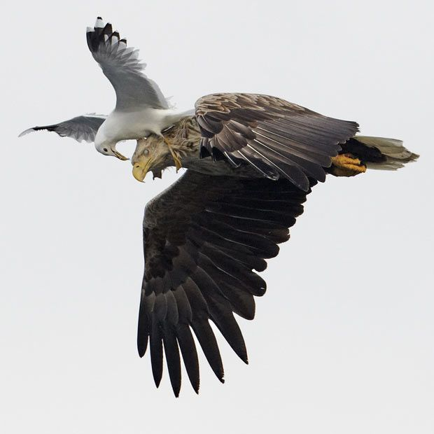 White-tailed Sea Eagle (Haliaeetus albicilla) being attacked by a Common Gull (Larus canus) in flight, Norway Picture: Markus Varesvu