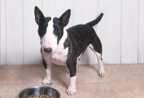 Miniature Bull Terrier. They are members of the terrier group. They are great vermin hunters and watchdogs. They stand at 10-14 inches at the shoulder and weigh about 20-35 pounds.