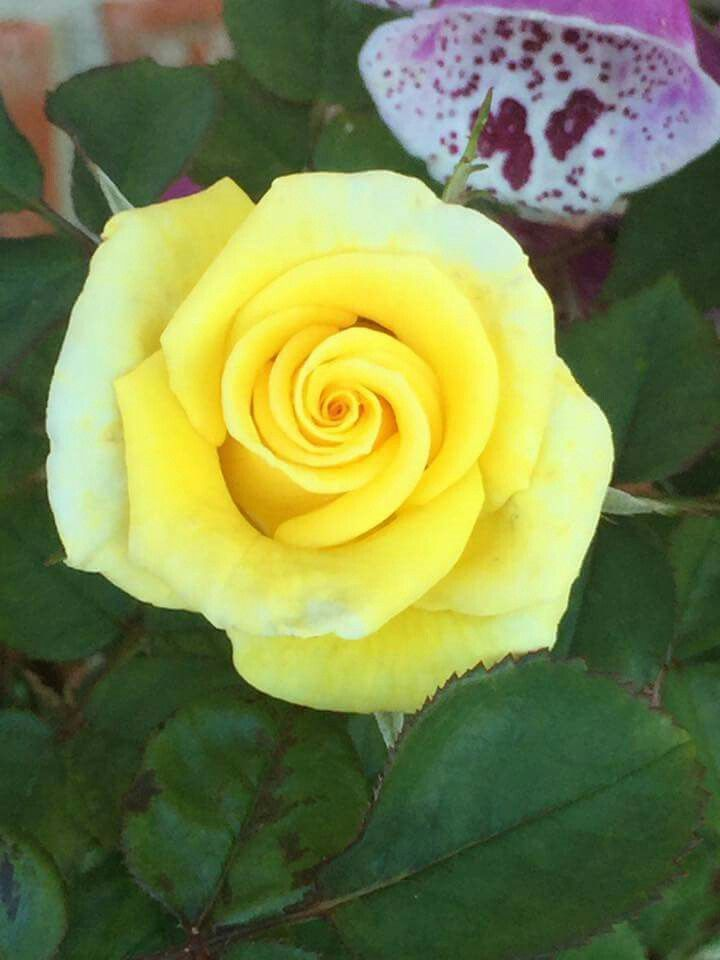 Pin By Charlie Delta On Roses Picture Compilation Beautiful Flowers Yellow Roses Rose Flower