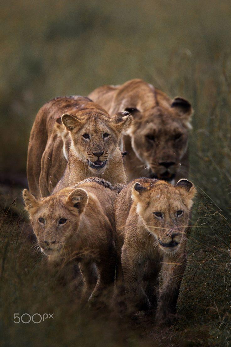 Lion family in the Maasai Mara