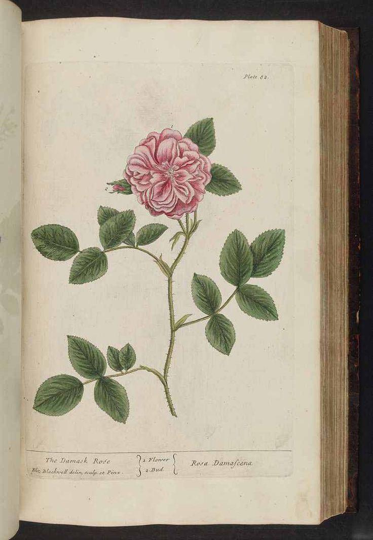 damask rose,  Rosa damascena   Blackwell,  A curious herbal  (1737)