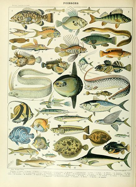 Fish illustration of the Nouveau Larousse illustré, Adolphe Millot, public domain via Wikimedia Commons.