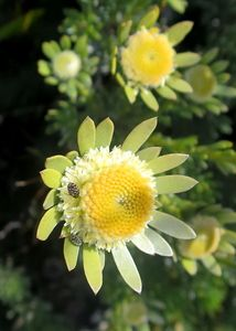 Leucadendron Singulare              Kammanassie Conebush