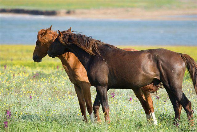 Manych-Gudilo Lake horse (Rostov, Russia) Ростовский заповедник: дикие мустанги  - О лошадях | КОНОВОД