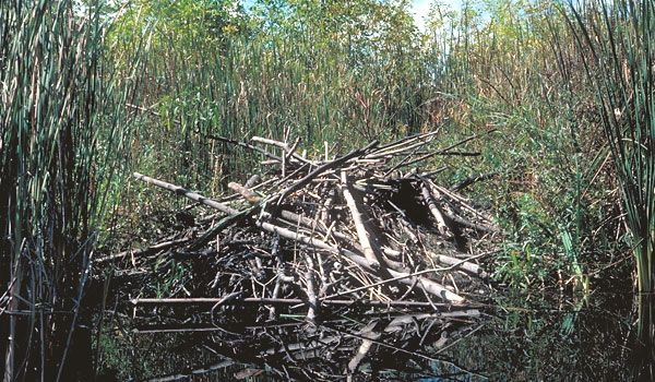 North American beaver | Photo: North American Beaver, Castor canadensis.