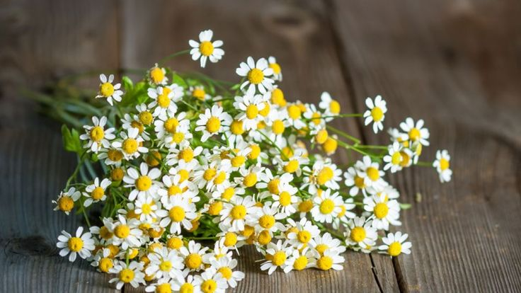 Headache has off late been one of the most troubling symptoms that people complain of. Here is a list of plants and herbs that constitute the list of natural cures for headache.
