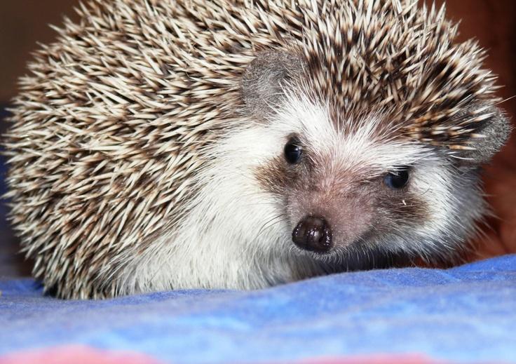 domestic hedgehog, Pet Hotel, Cluj-Napoca