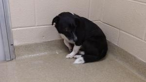 ID#13912. 'Dinky' is an adoptable Jack Russell Terrier Dog in Princeton, WV. ID#13912. 'Dinky' Female Jack Russel Terrier Mix. HOUSEBROKEN Adopt at Mercer Co Animal Shelter(WV) 304-425-2838 or 304-425...: Jack Russell, Animal Shelters Wv