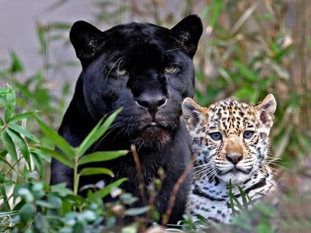 Black Leopard and Cub