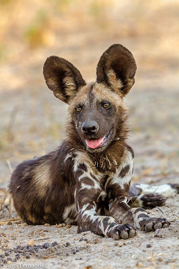 Hyena Crocuta Crocuta  Animals  AZ Animals