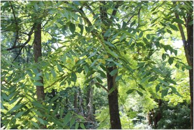 Walnut Tree Plant Diseases and Pests