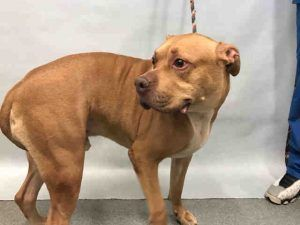 RTO SAFE❤️ 3/6/17 Manhattan Center RUGBY – A1105014 **DOH – B HOLD** NEUTERED MALE, BROWN, PIT BULL MIX, 4 yrs OWNER SUR – ONHOLDHERE, HOLD FOR DOH-B Reason BITEPEOPLE Intake condition UNSPECIFIE Intake Date 03/01/2017, From NY 10025, DueOut Date 03/11/2017,