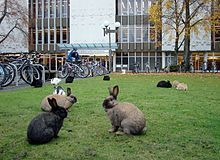 Rabbit - Domestic rabbits can overpopulate rapidly, becoming a nuisance, as on this university campus. Rabbits have been a source of environmental problems when introduced into the wild by humans. As a result of their appetites, and the rate at which they breed, feral rabbit depredation can be problematic for agriculture.