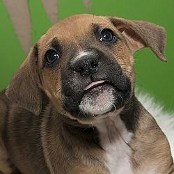 Troy, Ohio - Boxer. Meet Chuck, a  puppy for adoption. https://www.adoptapet.com/pet/20708973-troy-ohio-boxer-mix