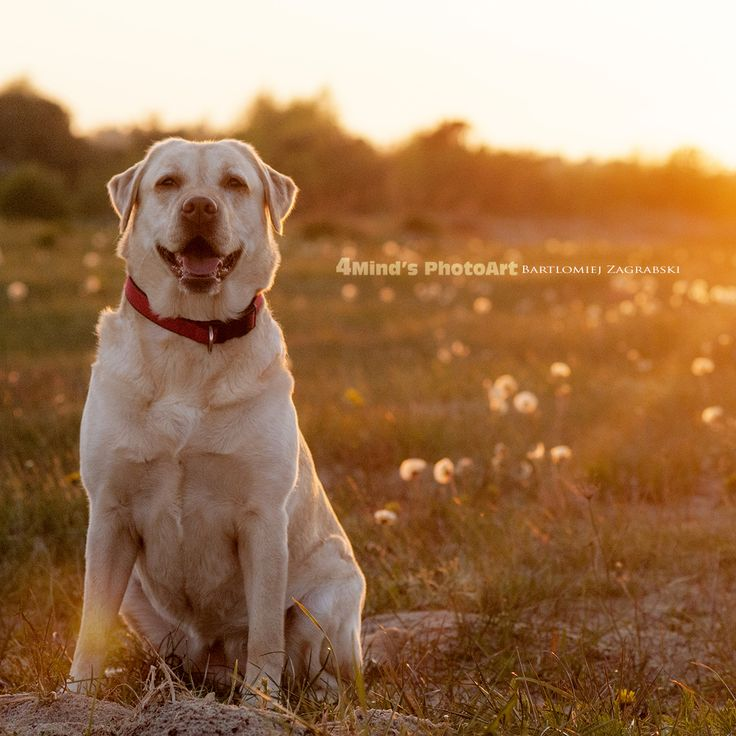 Dog,Labrador,seaside,