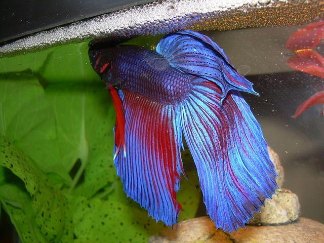 76 best how to take care of a betta fish images on for Betta fish mating