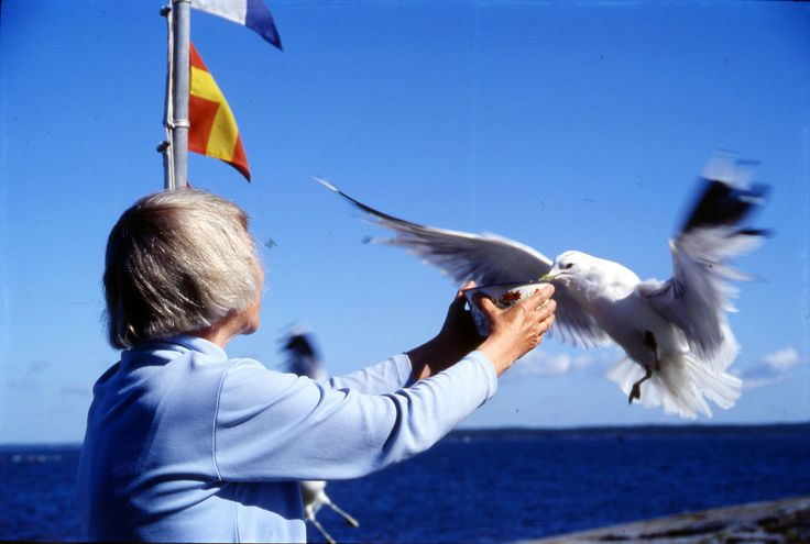 Nature was always near in Tove's life and in her stories. Tove Jansson feeding a seagull on her island and getaway Klovharun in the 19...