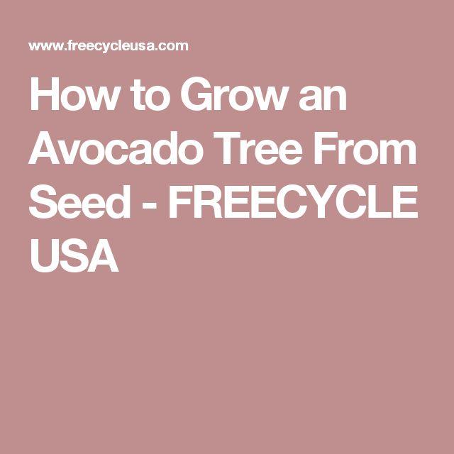 How to Grow an Avocado Tree From Seed - FREECYCLE USA