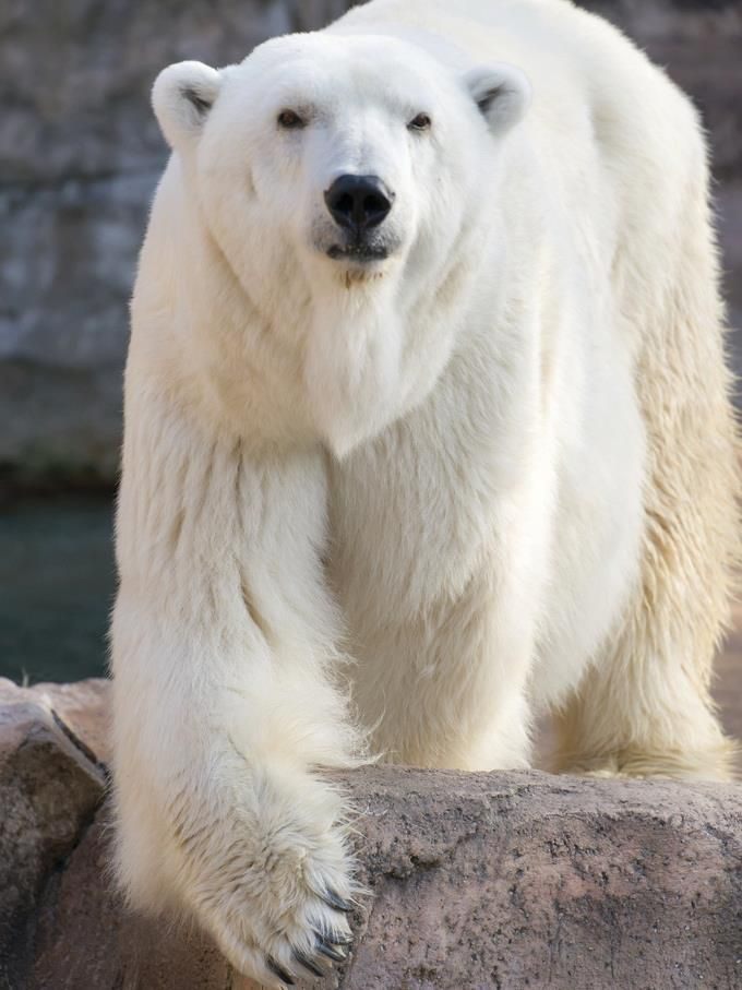 The polar bear is classified as a vulnerable species, with eight of the nineteen polar bear subpopulations in decline. For decades, large scale hunting raised international concern for the future of the species but populations rebounded after controls and quotas began to take effect. For thousands of years, the polar bear has been a key figure in the material, spiritual, and cultural life of Arctic indigenous peoples, and polar bears remain important in their cultures.