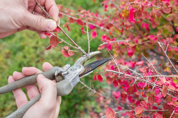 The burning bush (Euonymus alatus) needs regular pruning to control its growth. The bush, which is hardy in U.S. Department of Agriculture plant hardiness zones 4 to 8, can grow 15 to 20 feet tall and 6 to 10 feet wide. Knowing when and how to prune your burning bush improves the growth, health and appearance of the bush.