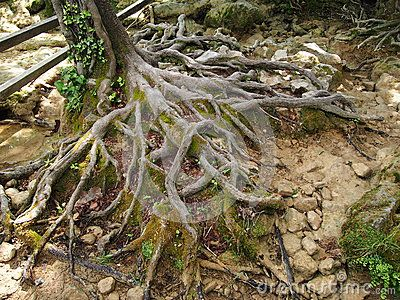 Roots of a tree, in a forest