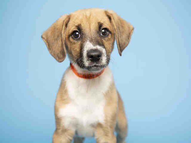 Adopt A Dog Puppy Adoptions Arizona Humane Society Puppy Adoption Dog Adoption Humane Society