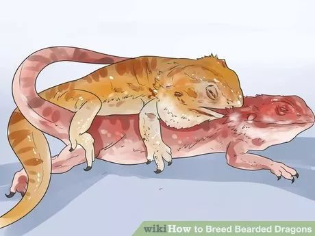 Image titled Breed Bearded Dragons Step 10