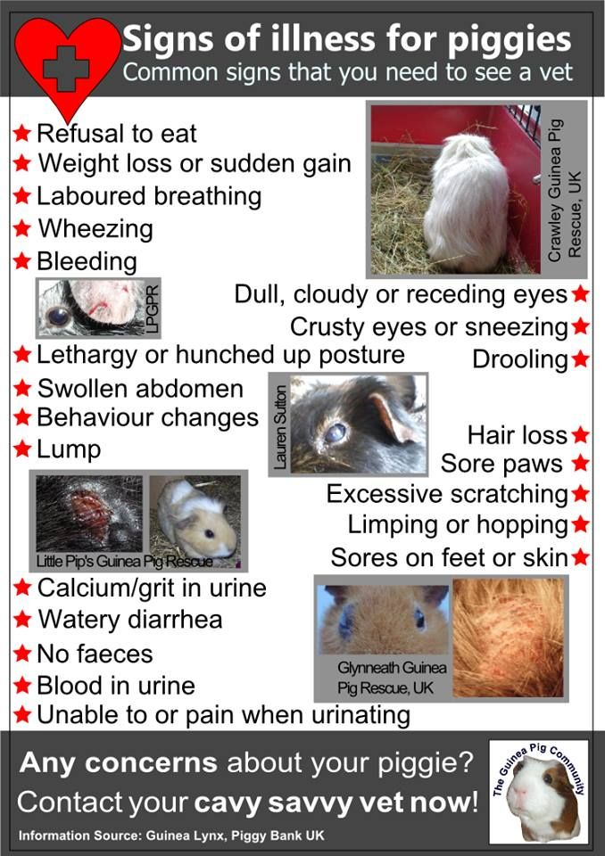 GUINEA PIG ILLNESS / INJURY POSTER with info about signs to look out for that might need a vet visit. This is a really useful. Please share far & wide & as ever, if you are worried about your guinea, see a good guinea pig or exotics vet. Please feel free to share, print x. https://www.facebook.com/photo.php?fbid=10202533352838358&set=o.164851973717119&type=1&theater
