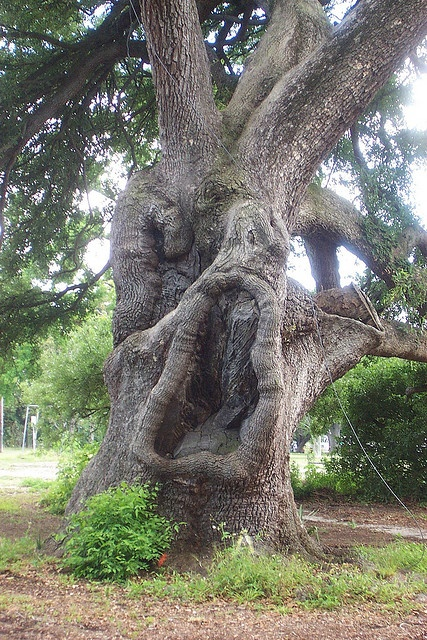 Suicide Oak, New Orleans City Park. For more supernatural strangeness of Louisiana, see http://www.booksamillion.com/p/Dixie-Spirits/Christopher-Coleman/9781581826715?id=5826563501315