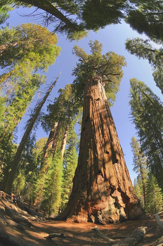 General Sherman: Scientists believe this tree could be anywhere from 2,300 years old to 2,700 years old.
