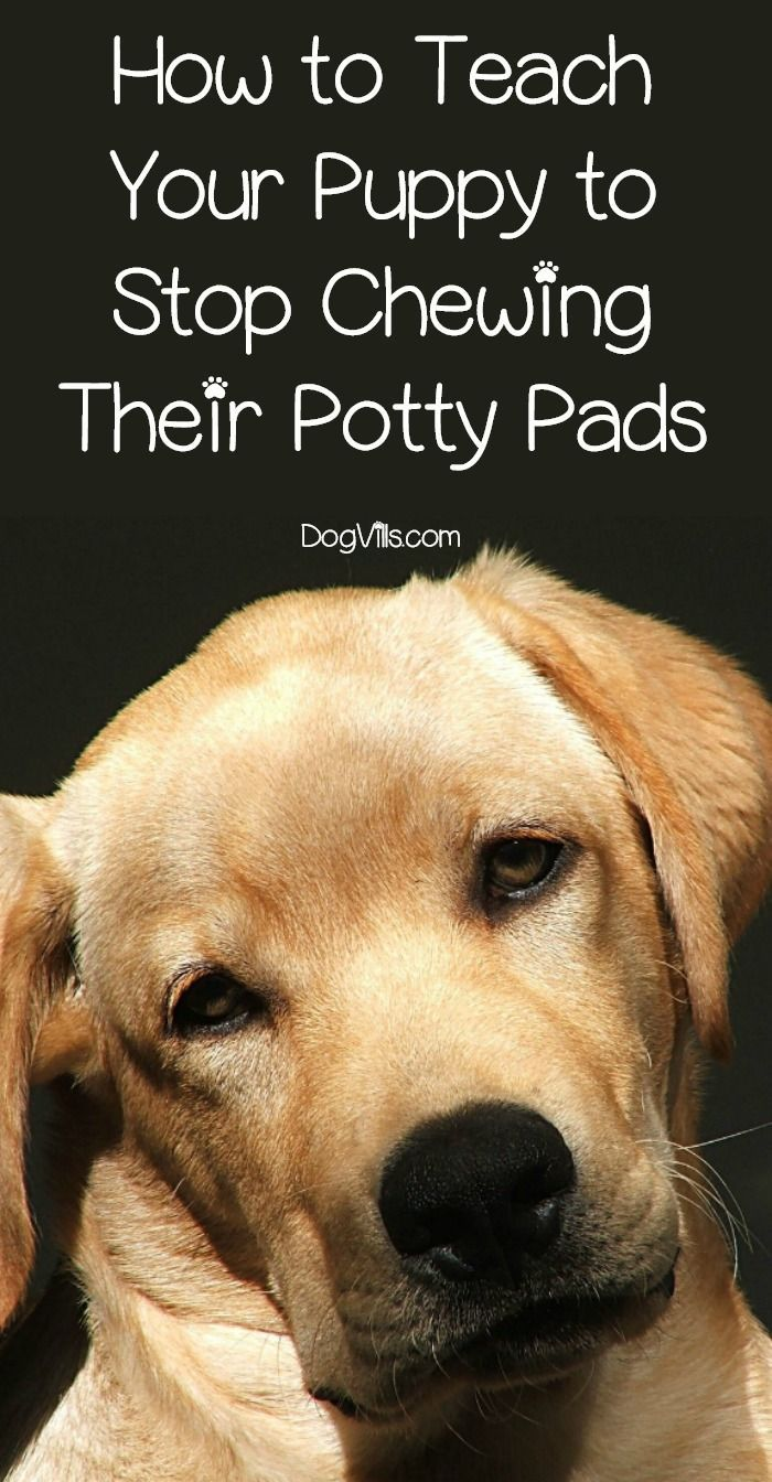 How To Teach Your Puppy To Stop Chewing Their Potty Pads Potty Pads Training Your Dog Dog Training Tips