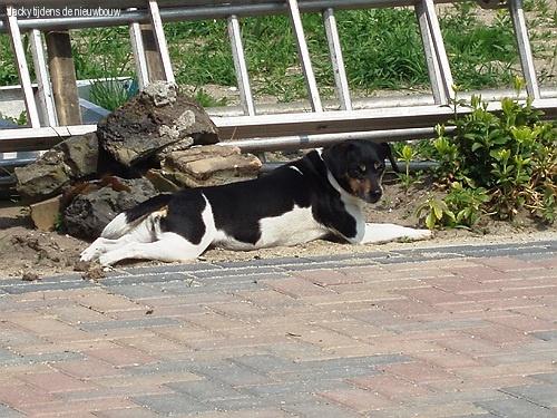 Jack Russel Jacky lekker languit in de zon.