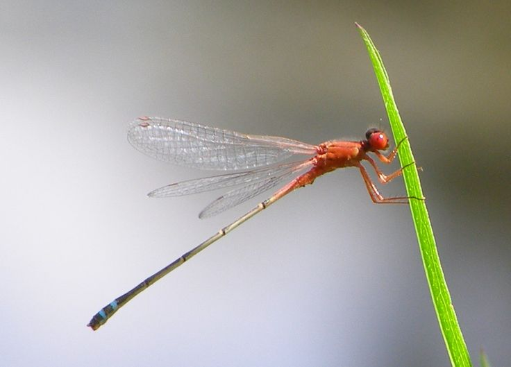 Red and blue damsel fly Photo D Wilks