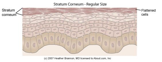 Epidermis Anatomy: Stratum Corneum