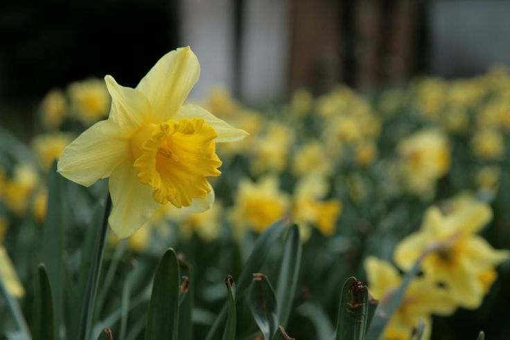 🔍 Close-up of Yellow Daffodil Blooming Outdoors - new photo at Avopix.com    ☑ https://avopix.com/photo/62225-close-up-of-yellow-daffodil-blooming-outdoors    #yellow #flower #pale yellow #flora #plant #avopix #free #photos #public #domain