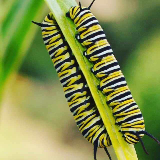 Seeing double! Two monarch caterpillars on my swan plant by Kristin Hyde