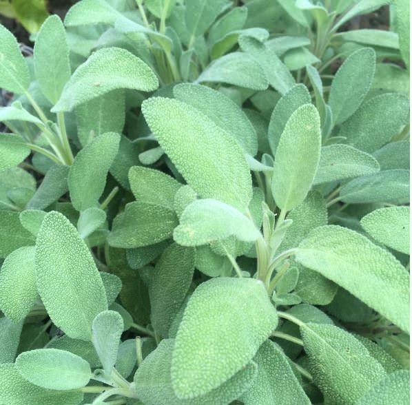 Come coltivare salvia, quando piantare semi o talee, come potare e quali sono le malattie e i parassiti che possono colpirla.