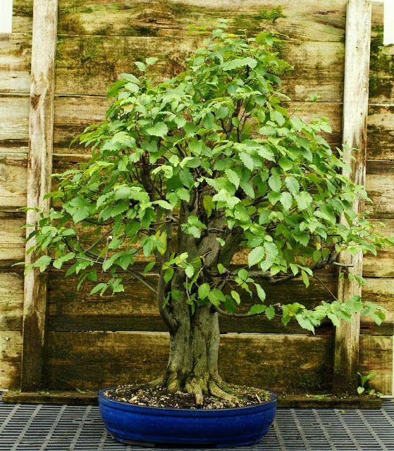 The Holistic Green Garden: Pre Bonsai Specimen Field Grown American Hornbeam AHST-227