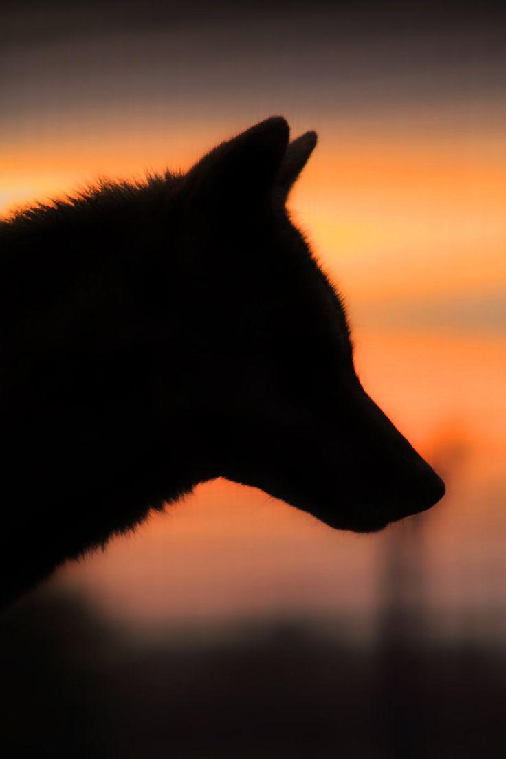 WOLF AT SUNRISE by ScarredWolfphoto.deviantart.com on @deviantART