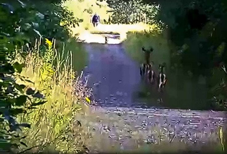 New Sasquatch Evidence   ... Deer-Fox-And-Bigfoot Footage May Have Just Dug Himself Into A Hole