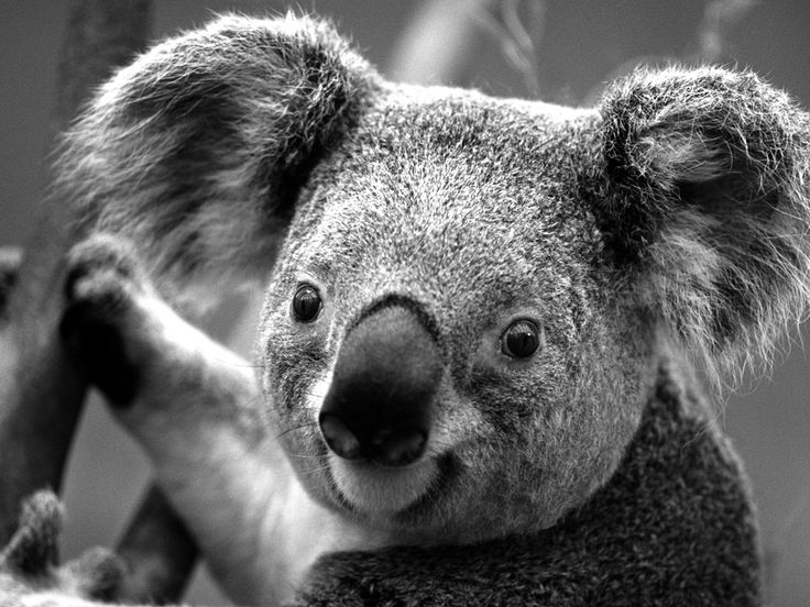 Koalas they are those cute little things living in australia these creatures will make your day better after you scroll down to the last picture