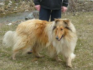 Pure-Bred Rough Collie Puppies for Sale CCA REG