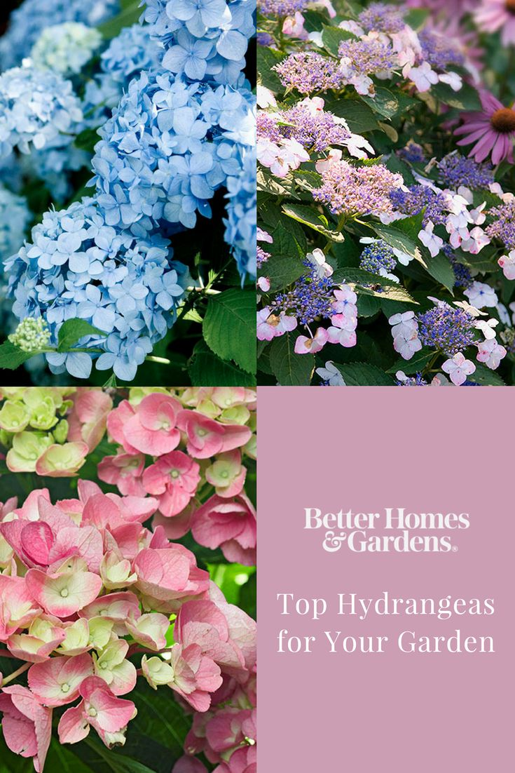 Hydrangeas are a great, versatile flower that grow in many soil conditions or in full sun or shade. Choose from mophead, oakleaf, blue hydrangeas or pink hydrangeas for long lasting color and big blooms. Plus, get hydrangea care and pruning tips. #hydrangeas #gardeningtips #floweringplants #shrubs