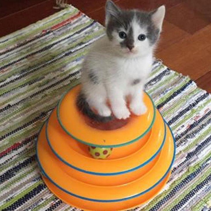 #kucingbikingemes ini kiriman dari : @veggiedayz    punya #kucingbikingemes juga? follow dan tag @kucingbikingemes  jangan lupa pakai #kucingbikingemes   via #catsofinstagram #cat #cats #catofinstagram #cat_of_instagram #catstagram #catsoftheworld #catslover #catgram #catagram #catslife #kucing #kucingku #kucinglucu #kucingsaya #kucingimut